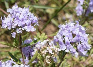 Купить семена, растение – Зизифора клиноподиевидная