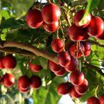 Купить растение - Томатное дерево красное, Тамарилло
