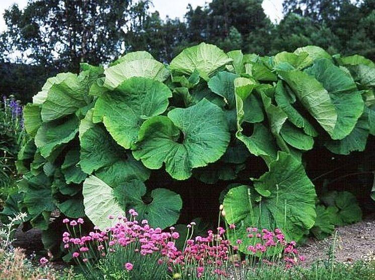 Купить семена, растение – Белокопытник японский (широкий)
