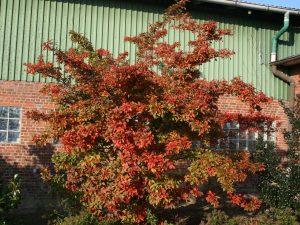 Купить семена, растение – Фотиния мохнатая (Photinia villosa)