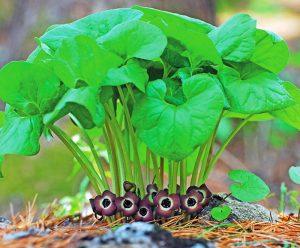 Купить семена, растение – Копытень Зибольда (Asarum sieboldii)