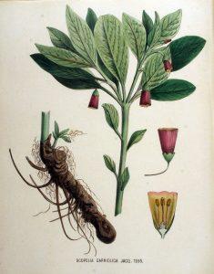 Купить семена, растение – Скополия карниолийская (Scopolia carniolica)