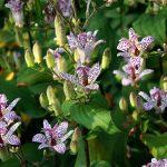 Купить семена, растение – Трициртис коротковолосистый (Tricyrtis hirta)