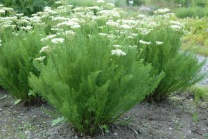 Купить семена, растение – Меум атамантовый (Meum athamanticum)