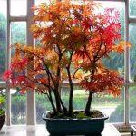 Купить семена, растение – Клен ложнозибольдов (Acer pseudosieboldianum)
