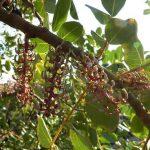 Купить семена, растение – Рожковое дерево (Кэроб)