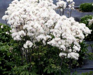 Купить семена, растение – Василисник водосборный (белый)