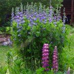 Купить семена, растение – Баптизия Южная (Baptisia australis)