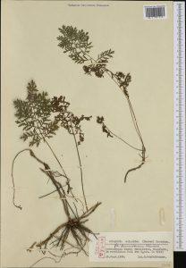 Купить семена, растение – Полынь эландская (Artemisia oelandica)