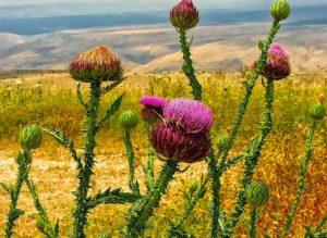 Купить семена, растение – Чертополох колючий (Татарник)